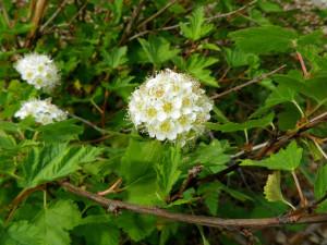 Physocarpus capitatusRose Family
