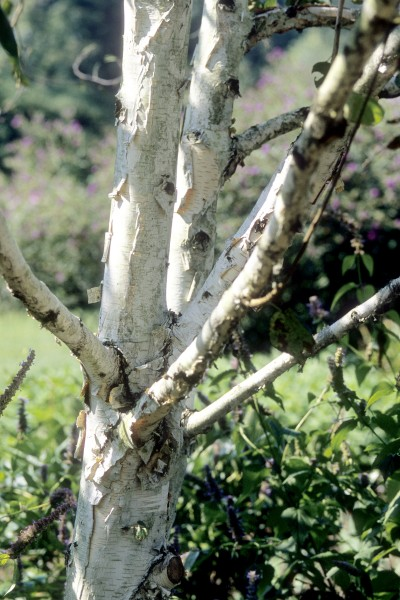 Image of Birch