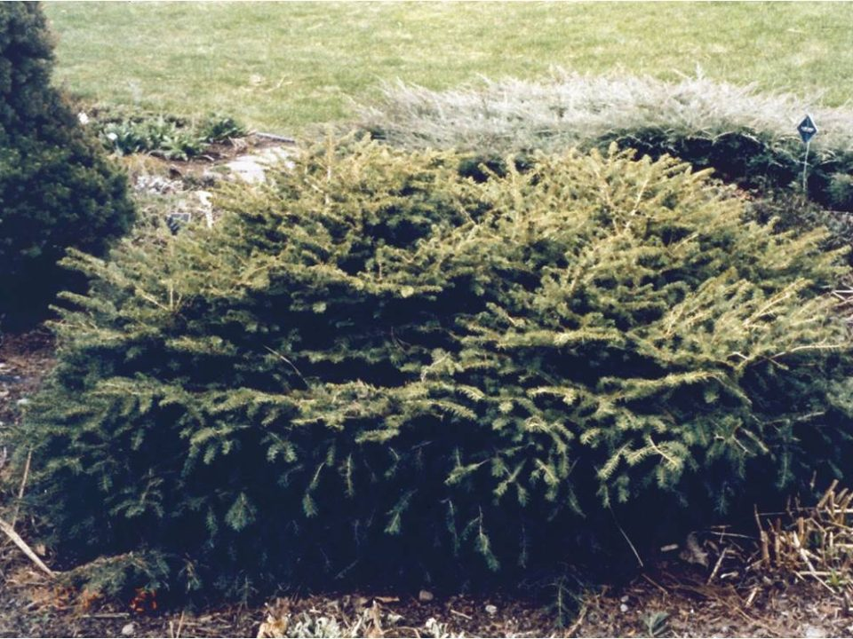 Image of Birds Nest Spruce