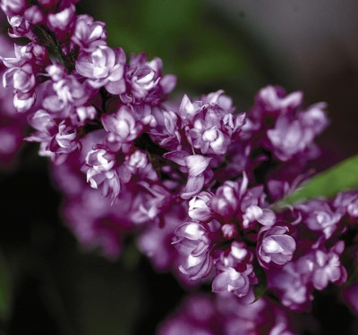 Image of Charles Joly Lilac