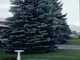 Colorado Spruce preview image