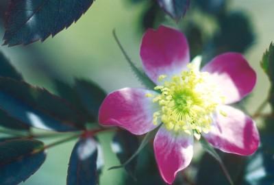 Image of Red Leaf Rose