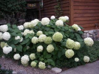 Annabelle Hydrangea preview image