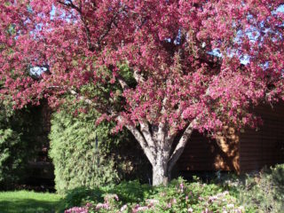 Radiant Flowering Crabapple preview image