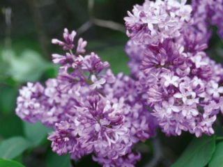 Common Purple Lilac preview image