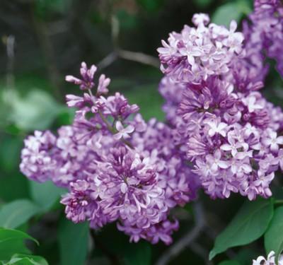 Image of Common Purple Lilac