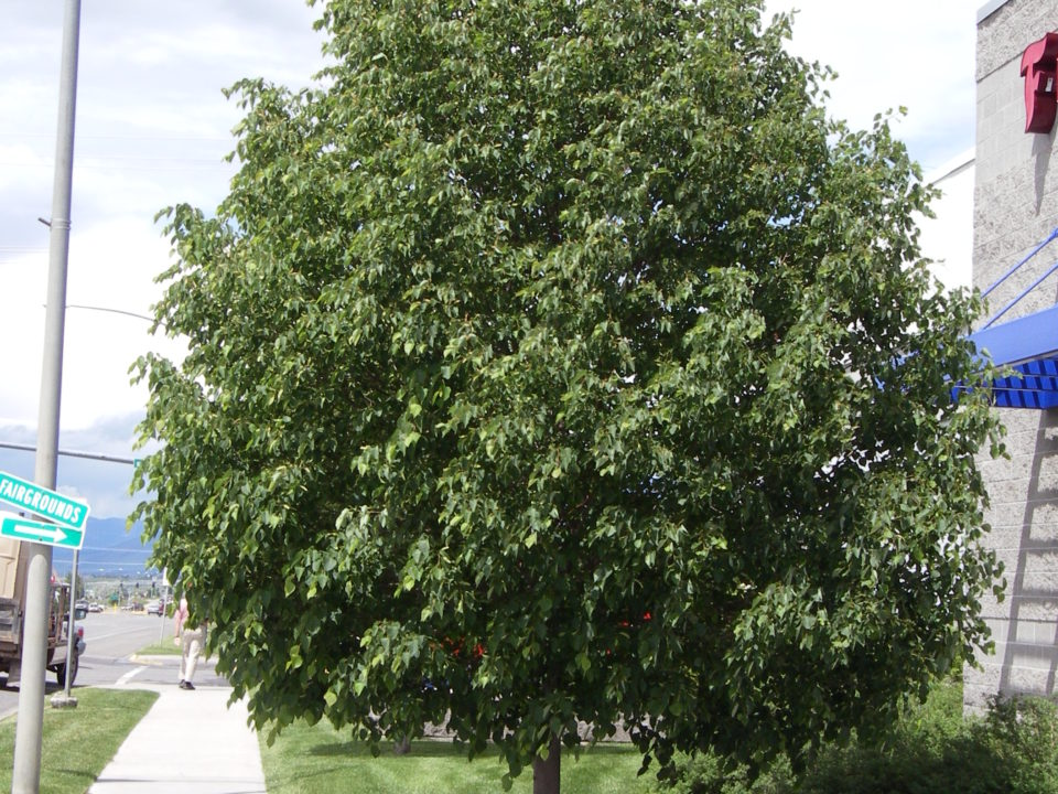 Image of American Linden