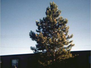 Ponderosa Pine preview image