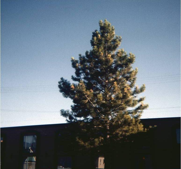 Image of Ponderosa Pine