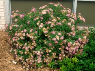 Spirea preview image