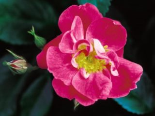 William Baffin Climbing Rose preview image