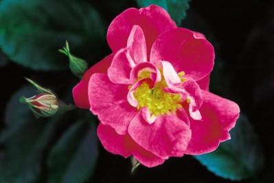 Image of William Baffin Climbing Rose