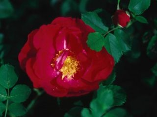 Adelaide Hoodless Rose preview image