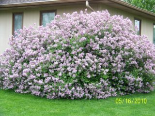 Dwarf Korean Lilac preview image