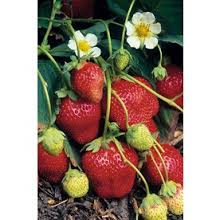 Ogallala Strawberry preview image