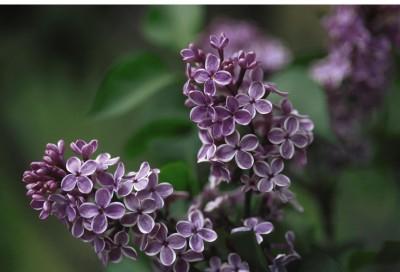 Image of Sensation Lilac
