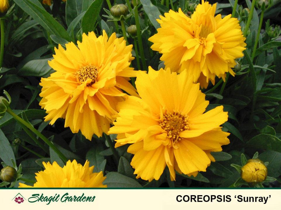 Image of Coreopsis