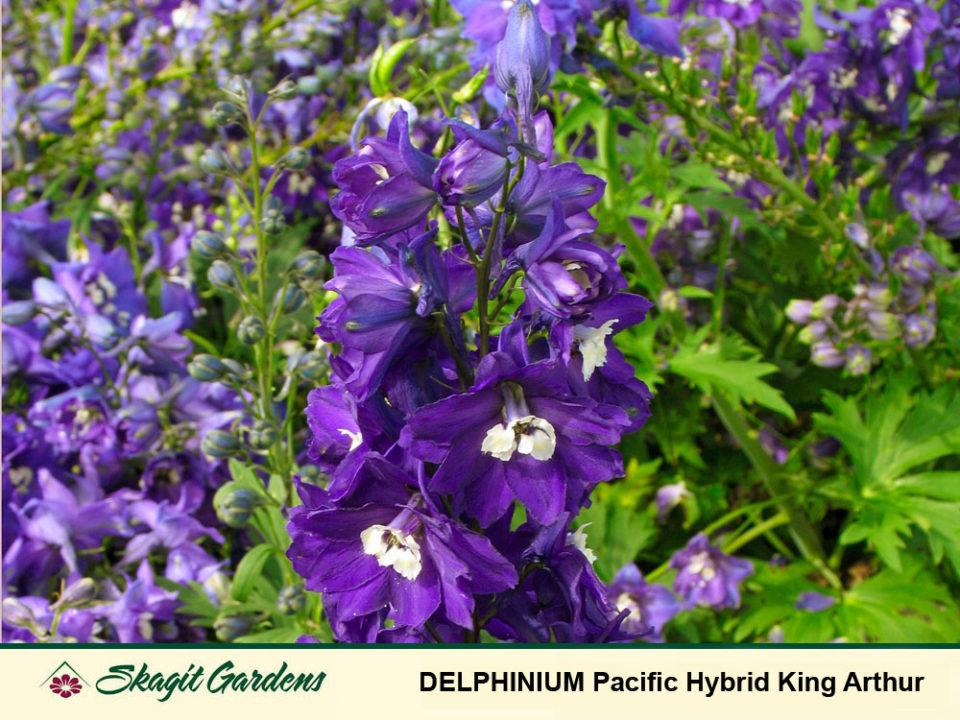Image of Delphinium