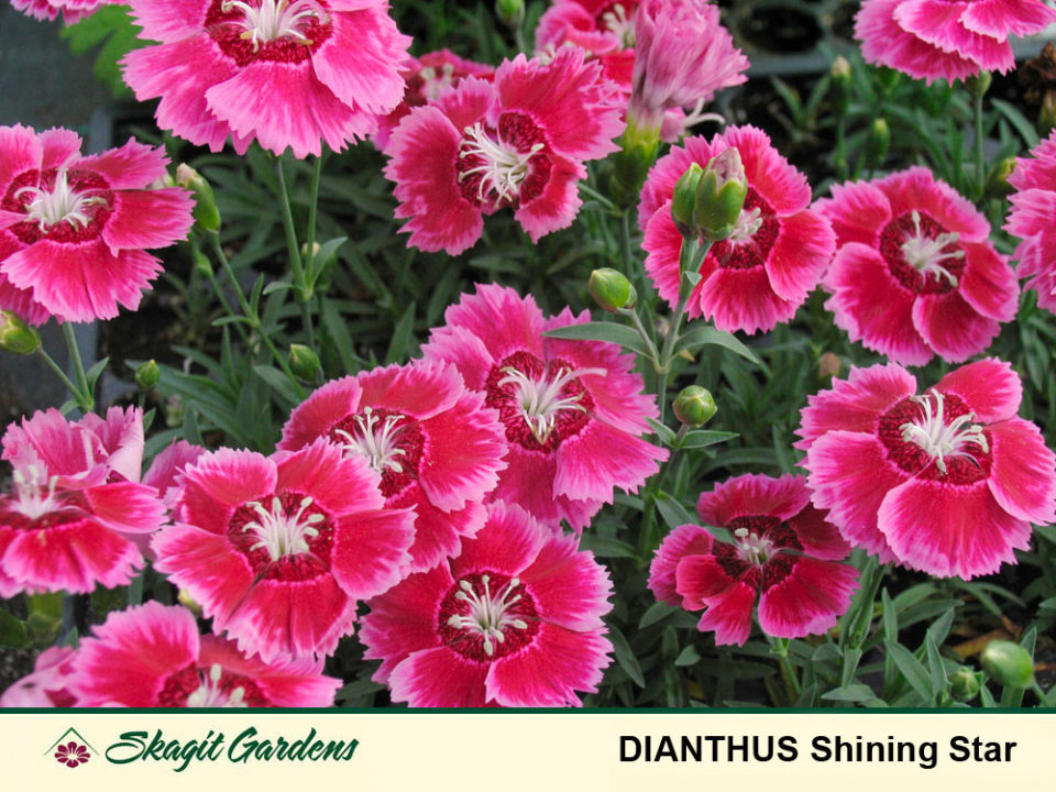 Image of Dianthus, Pinks