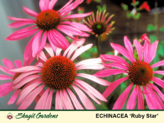 Echinacea- Coneflower preview image