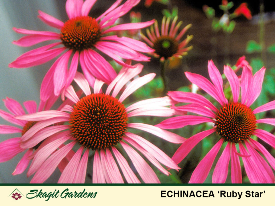Image of Echinacea- Coneflower