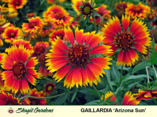 Gaillardia- Blanket Flower preview image