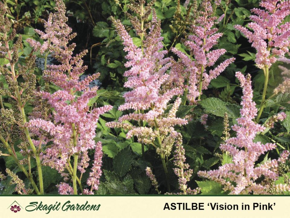 Image of Astilbe