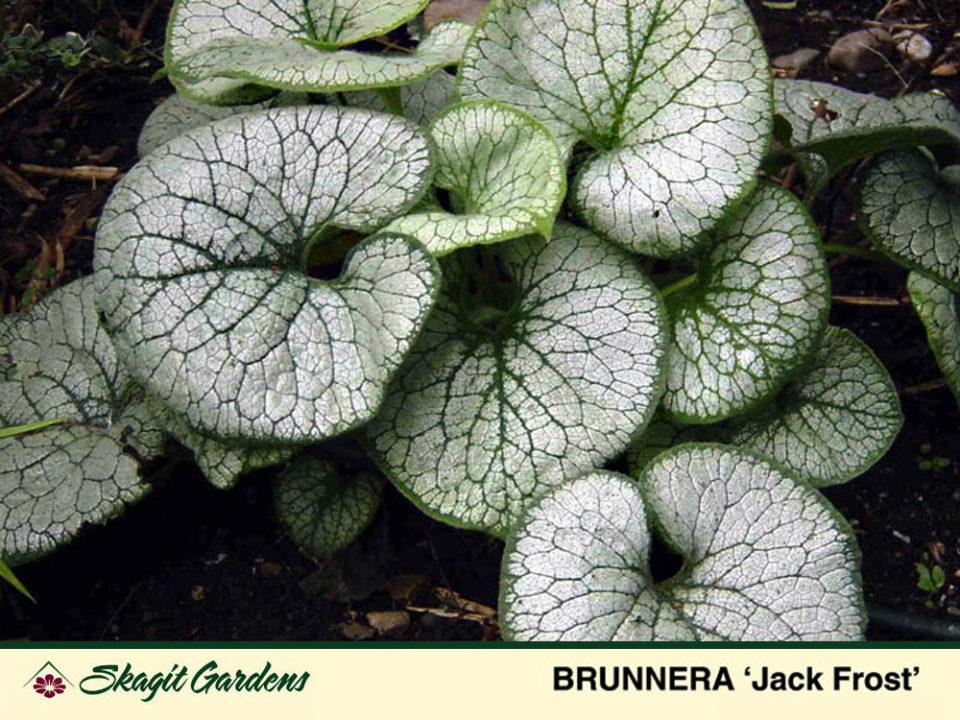 Image of Brunnera