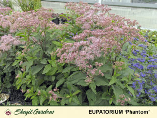 Joe Pye Weed preview image