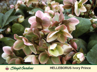 Hellebore preview image