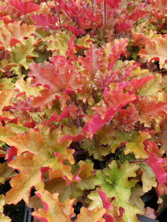 Image of Coral Bells
