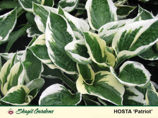 Hosta preview image