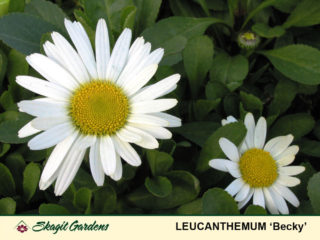 Shasta Daisy preview image