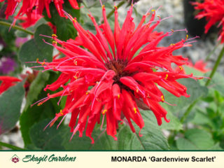 Bee Balm preview image