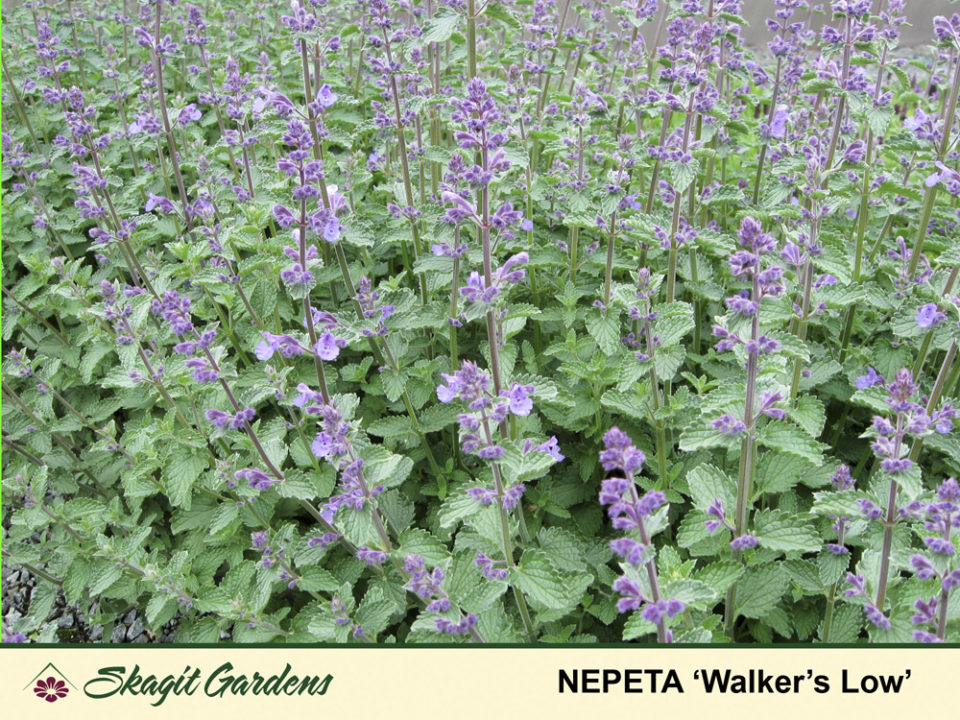 Image of Catmint