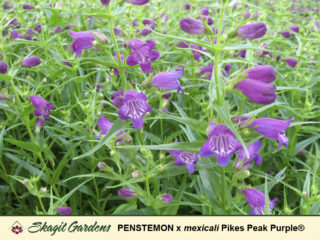 Penstemon/ Beardtongue preview image