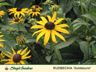 Rudbeckia preview image