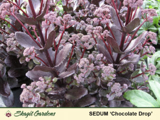 Upright Sedum preview image