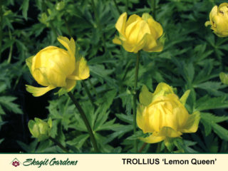 Globeflower preview image