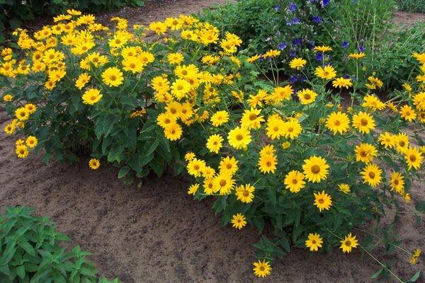 Image of False Sunflower