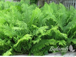 Ostrich Fern preview image