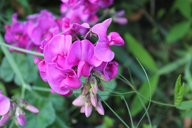 sweet-pea-scented-2766022_640