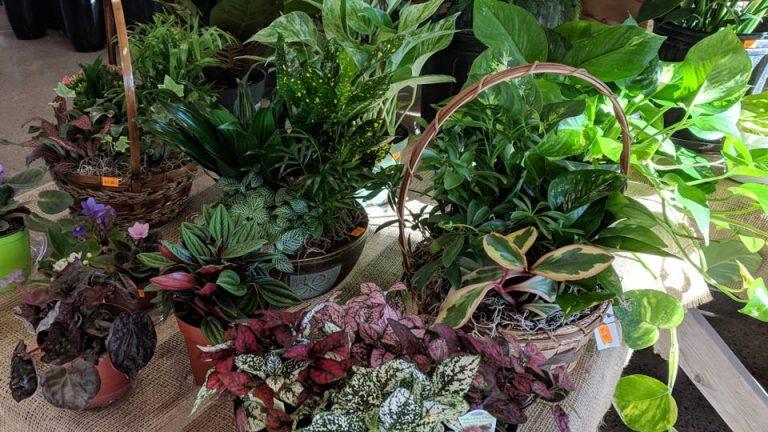 Cashman-Nursery-Houseplants-for-Sale 4