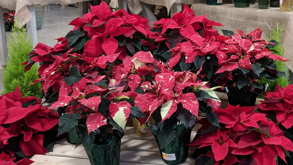 Cashman-Nursery-Poinsettias-for-Holidays 4